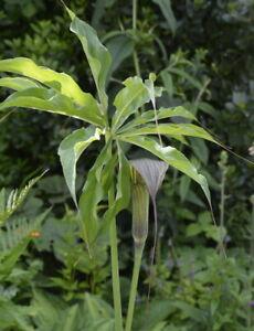 Arisaema consanguineum 2L