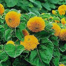Sunflower (Teddy Bear) Dwarf Sungold (Helianthus Annuus) - 100 seeds