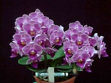 Variegated Phalaenopsis Sogo Vivien 'Leaf's Edge' Orchid Plant - 2 spikes