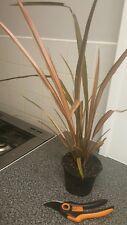 "Phormium Cookanium Plant.""Flamingo"",2L Pots,Fully Est.Evergreen foliage.60-80cms"