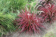 """Fireworks Fountain Grass - 1 Starter Plants - 6"""" to 8""""Tall - Ship in ONE 3"""" Pot"""