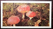 FLY AGARIC  Poisonous Toadstool     Superb Colour Card