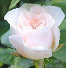 50 Semillas de Rosa Blancas (White Rose Seeds)