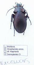 Carabus morphocarabus excellens (male A1) from MOLDAVIA