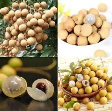 NEW 3 seeds crystal longan Crystal fruit Matoa Kasai Dimocarpus forest longan