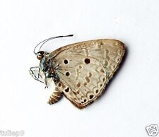 BUTTERFLY/UNMOUNTED/Acytolepis puspa lambi (m) 3544