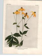 1934 Wildflower Book Plate Tall Coneflower & Wild Sunflower