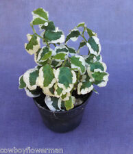 """Ficus Repens Variegated, Creeping Fig Variegated, 2+ Plants Shipped In 3"""" Pot"""