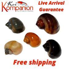 5/10/20/50/100/300X Assorted Mystery Snails Algae Eaters Beginner KoiKompanion