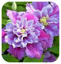 3 Clematis Hybrid 'PIILU' Large Flowering Bare Root Plant Climbing Shrub