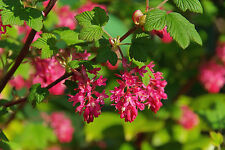 Ribes sanguineum King Edward VII, 30-40cm Tall, Winter Currant 'King Edward VII