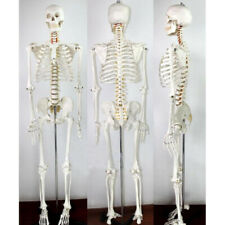 Medical School Human Skeleton Anatomical Anatomy Model with Rolling Stand New