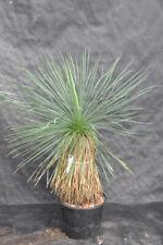 Yucca linearifolia 2 natural, 85 CM, cepa 40 cm