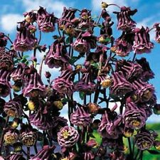 25+ COLUMBINE AQUILEGIA PLEATED BLACKBERRY FLOWER SEEDS / PERENNIAL