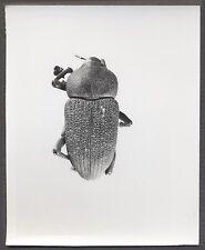 Unusual Vintage Photo Beetle Bug Scientific Specimen Entomology 258142