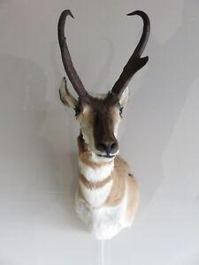 Pronghorn- Large Antelope Buck Shoulder Mount Now On SALE!!
