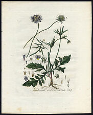 Antique Print-SCABIOSA COLUMBARIA-SMALL SCABIOUS-Sepp-Flora Batava-1800