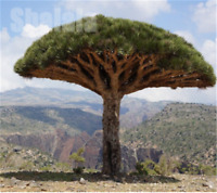 10pcs Canary Island Dragon Blood Tree seeds bonsai seed Giant Exotic Tree Fresh