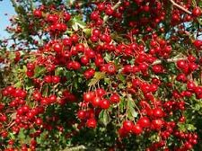 250 Goji Berry Seeds Lycium Chinense Easy to Grow Heavy Fruit  Producer Non GMO
