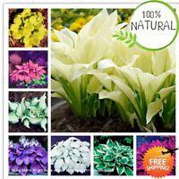 Bonsai Hosta Jardin Seeds Plants Perennials Lily Flower Pot White Mixed 100pcs