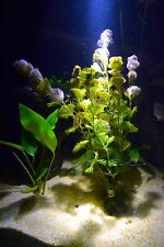PURPLE CABOMBA (CABOMBA PULCHERRIMA) 5 STEMS -BUY2GET1FREE- Live Aquarium Plant