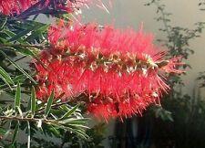 Flaschen- Baum Duftstrauch Duftstaude Duftgräser Pflanzen für den Balkon Garten