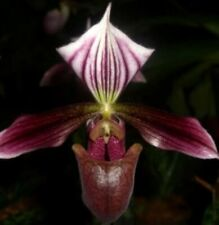 Orchid flask paph purpuratum Paphiopedilum species outstanding !