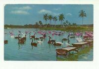 FLORIDA SWANS AND FLAMINGOS AT FEEDING PLACE CHROME POSTCARD