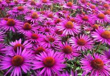 echinacea echinacea purpurea Medicinal 200 seeds seeds