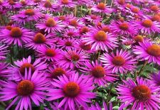 EQUINACEA echinacea purpurea  Medicinal 320 semillas  seeds