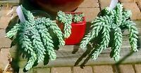 "Donkey Tail Lambs Tail Burrito Sedum morganianum Succulent Cacti 3""-4"" cuttings"