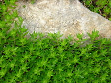 50 Gold Moss Stonecrop Ground Cover Plants - Great for Slopes - Perennial