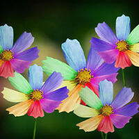 300Pcs Erstaunlicher Regenbogen Farb Chrysanthemum Samen Blumensamen_Gartendeko