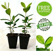 Pineapple Guava Tree Plant Garden Greenhouse 2 Pack Pot Care Home Outdoor Life