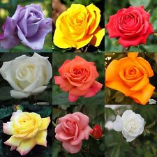 5 X Bare Root Roses Variety's Like Blue Moon, Masquerade, Tip Top, Iceberg,Peace