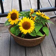Ornamental 20 Dwarf Sunflower Flower Seeds Easy care Beautiful A033