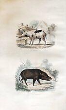 Engraving Mammals the Pig et le Wild Boar