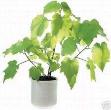 Ein schöner Zimmerbaum der die Atemluft reinigt die Zimmerlinde !
