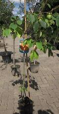 Diospyros KAKI  170cm Sorte ' Vaniglia'  frosthart -18°C  Kakibaum