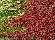 100 Boston Ivy Seeds Vine Virginia Creeper Parthenocissus Tricuspidata Climber