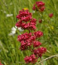 50 RED JUPITER'S BEARD Valerian Keys of Heaven Centranthus Ruber Flower Seeds
