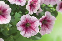 50 Pelleted Petunia Seeds Opera Supreme Raspberry Ice Trailing Petunia