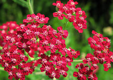 yarrow, RED PERENNIAL, GOOD FOR DRYING, 360 SEEDS GroCo*