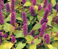 ANISE HYSSOP GOLDEN JUBILEE Agastache Foeniculum - 200 Bulk Seeds