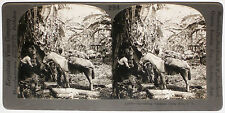 Keystone Stereoview of Harvesting Bananas, COSTA RICA from 1910's Education Set