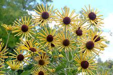 Rudbeckia subtomentosa HENRY EILERS Yellow Sweet Coneflower Plant Perennial