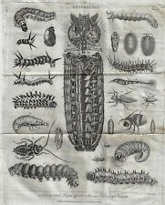 "Wilkes Entomology - ""LARVAE & PUPAE OF SEVEN ORDERS"" - Copper Engraving - 1804"