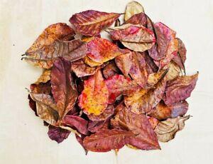 AquaTee's 10 Indian Almond Leaves Terminalia Catappa Shrimp Fish Aquarium tank