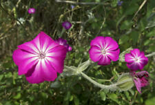 Silene coronaria Rose Campion 100 Seeds Hardy Perennial Pink Flowers UKFreeP&P