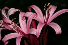 Crinum Lily, Sangria, small bulb, NEW, very choice